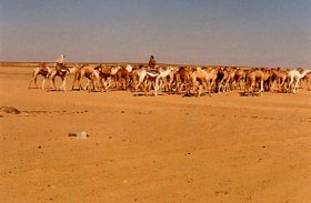 Camel train in the Nubian Desert