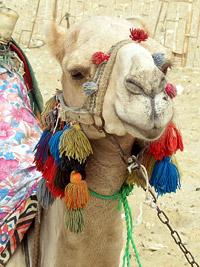 Camel at Saqqara