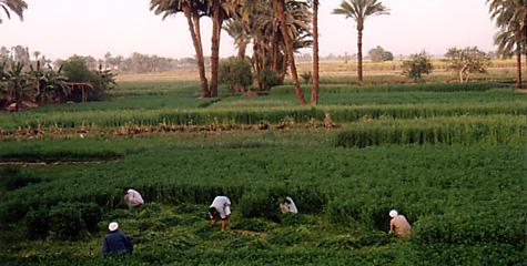 Working the fields in El-Arabet