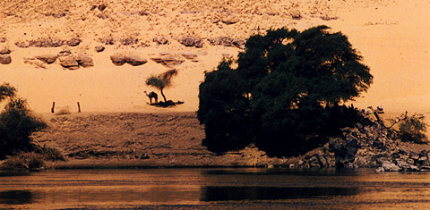 Camel under a tree near Aswan