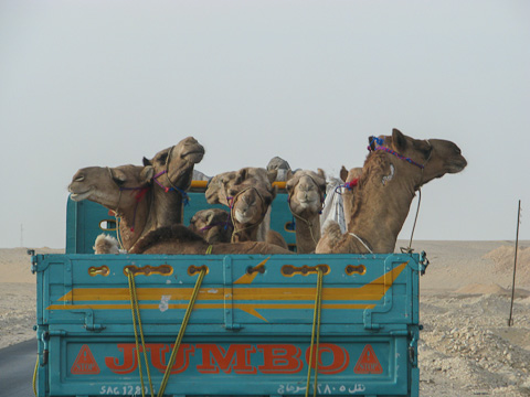 Luxury transport for camels